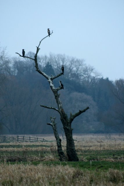 Cormorants, Marston Marshes