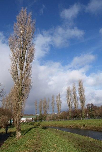 Poplars by the Plym