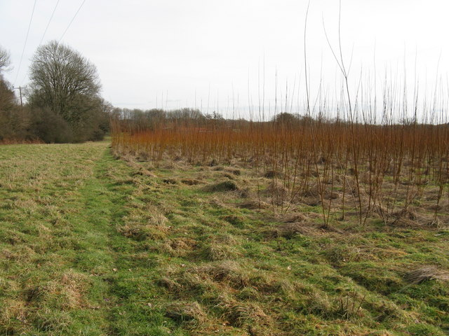 Plantation of which I think are Willows