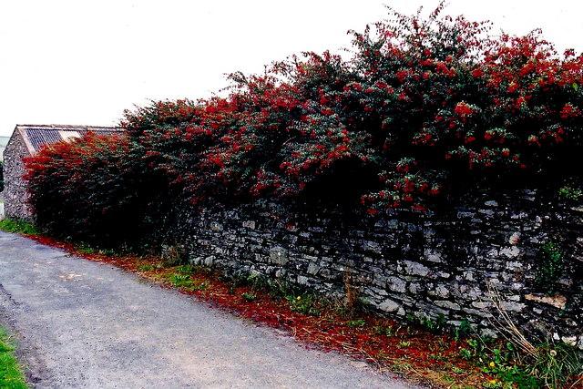 Cregneash Village - Village lane, wall, and fuchsia