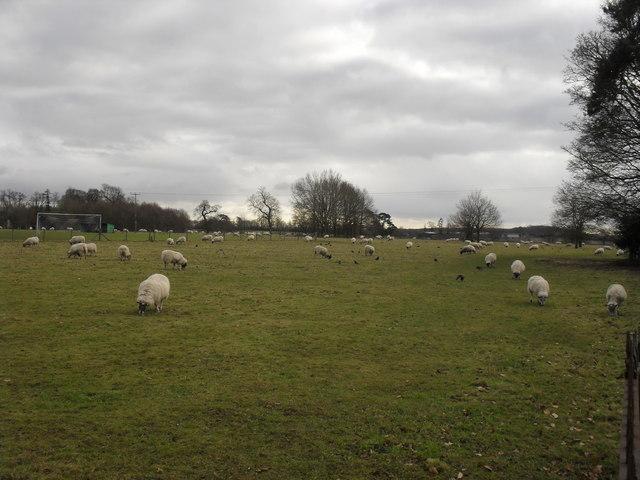 Field of sheep in Hatherop