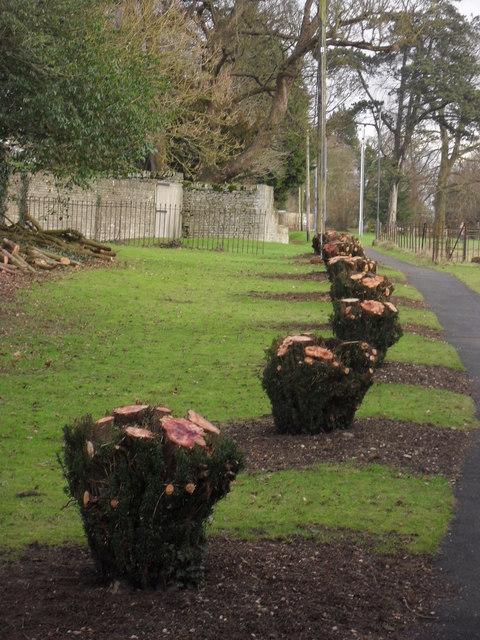 Yew stumps at Hatherop
