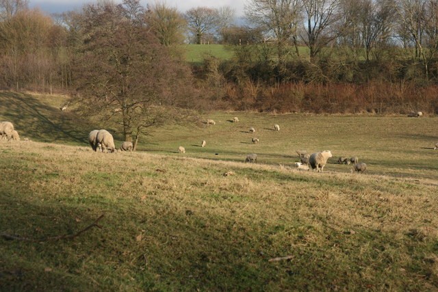 Sheep grazing by the Vanguard Way