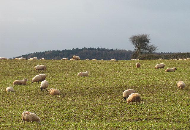 Sheep heaven