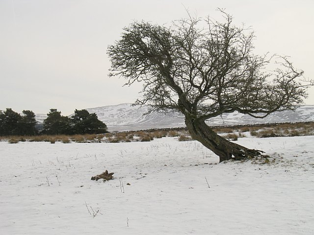 Thorn tree, West Colzium