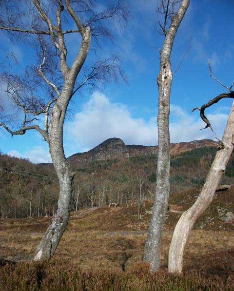 Trees on woodland walk near Loch Katrine