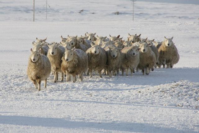 Shetland sheep, Baltasound