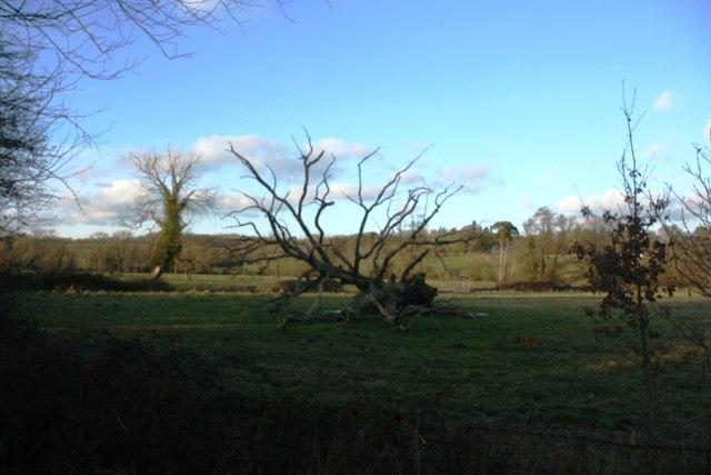 Fallen dead oak tree