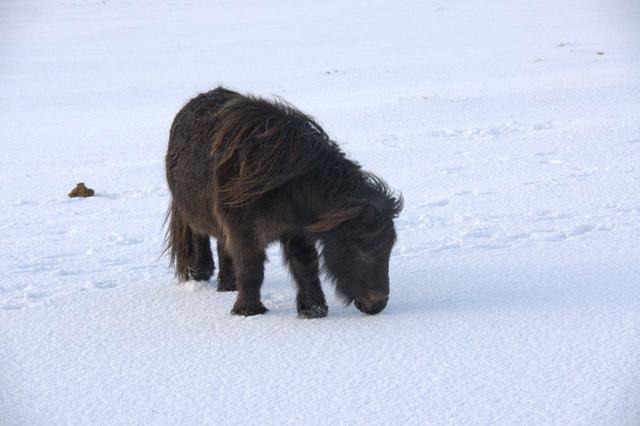 Shetland pony in the snow, Baltasound