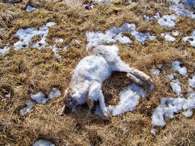 Mountain Hare Road Casualty