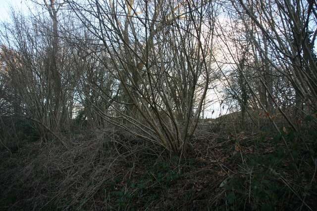 Coppiced trees by the Forest Way
