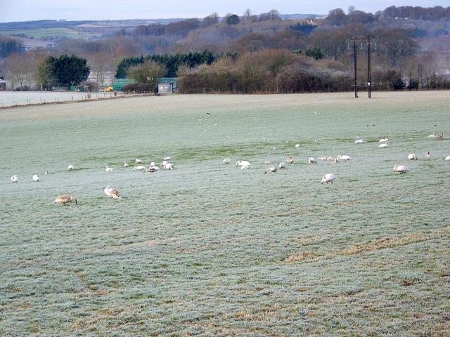 Grazing swans near Tarrant Crawford