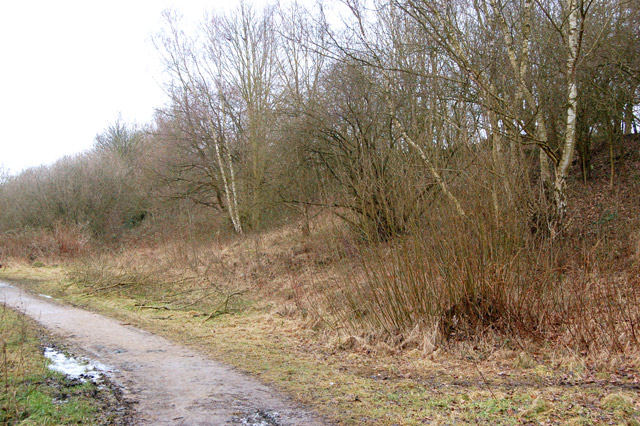 Silver birches beside trackbed of ex-Great Central Railway, Rugby