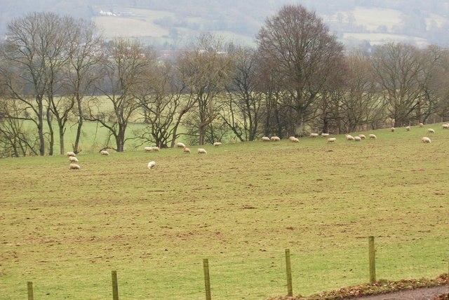 Sheep grazing manured field.