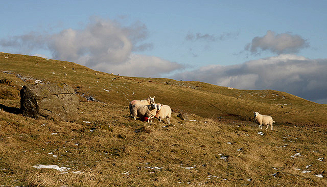 Sheep on Holmhead Hill