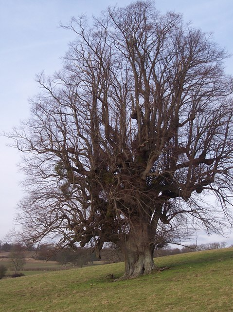 Oak Tree near Well Place Farm
