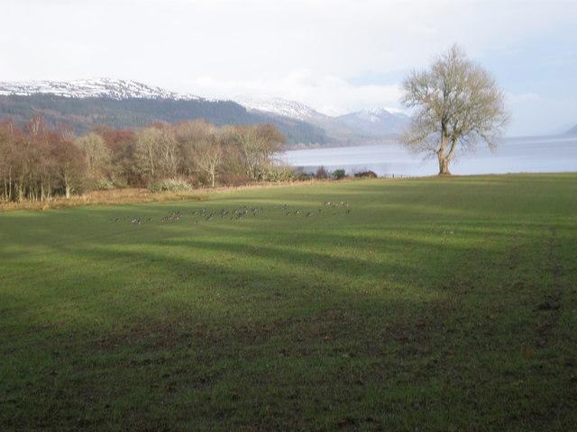 Geese grazing by Borlum