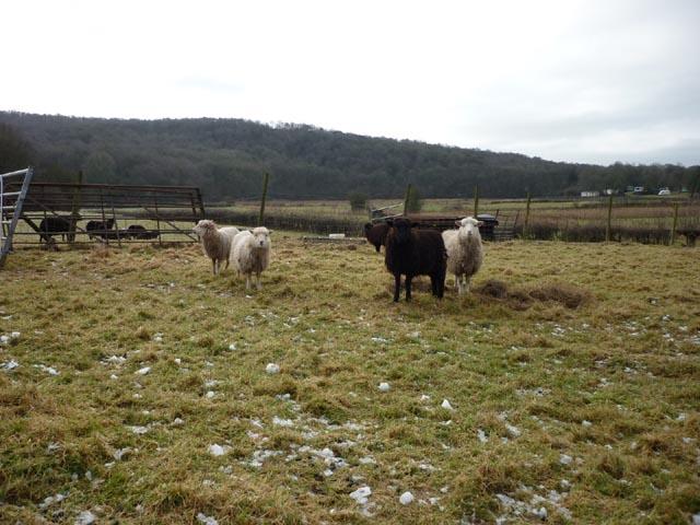 Sheep, New Barns