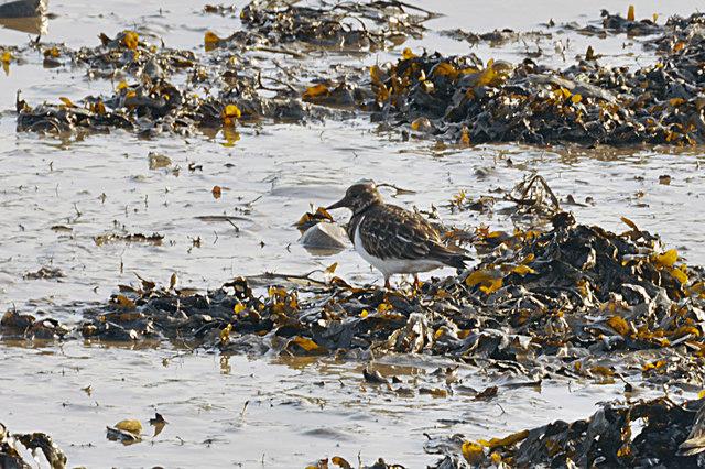 Turnstone amongst seaweed - Plymouth