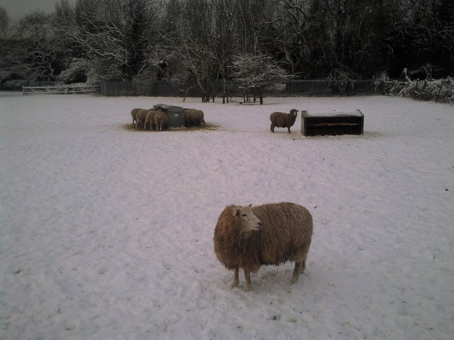 Sheep in snow at Woodlands Farm