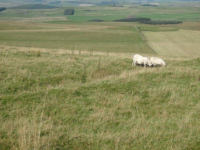 Sheep grazing on Newton Hill