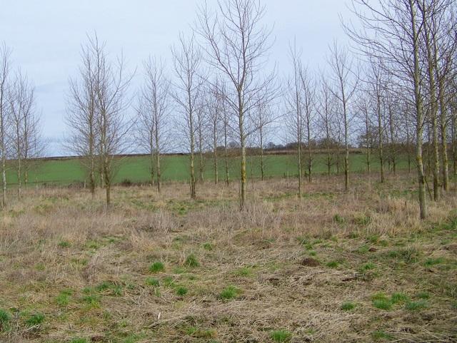 Plantation near Winterborne Tomson