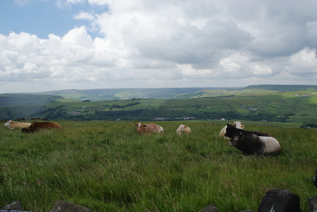 Cows grazing at the top of the hill
