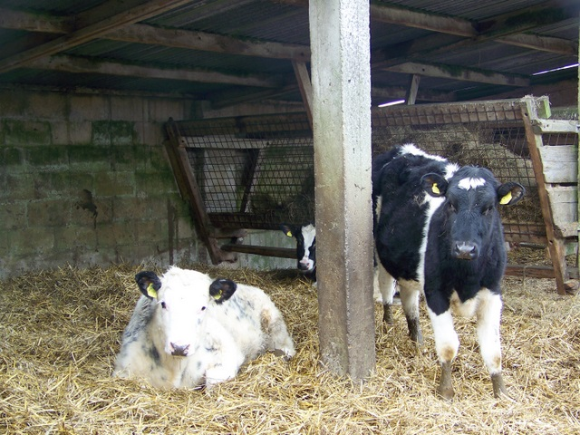 Calves, Winterborne Tomson