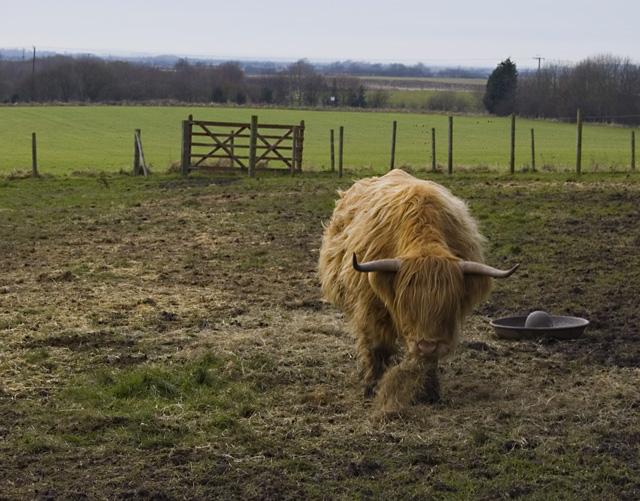 Keyingham cow