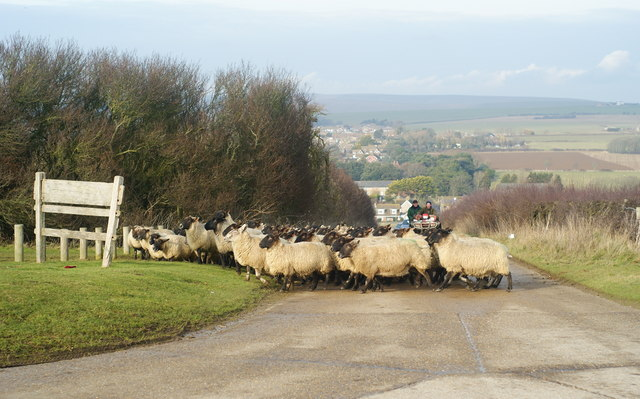 Sheep on Seaford Head, Sussex (5)