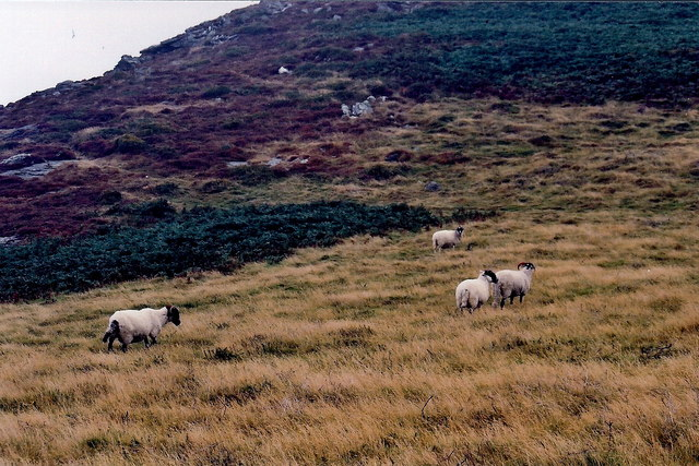 The Sloc - Sheep grazing on mountainside