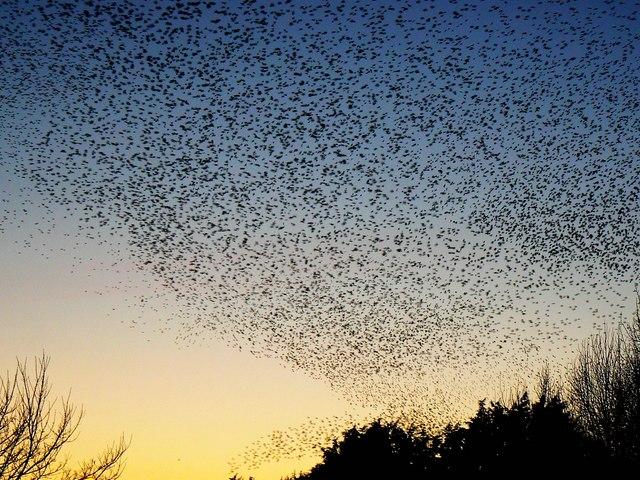 Starlings over Rodbourne, Swindon (3)