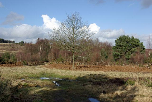 Small oak,  Ashdown Forest