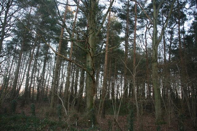 Conifers, Sawpit Wood