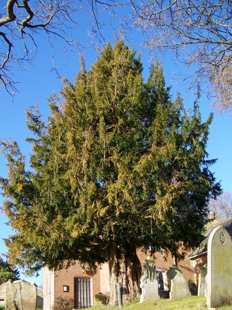 Yew tree, St Peter's Church