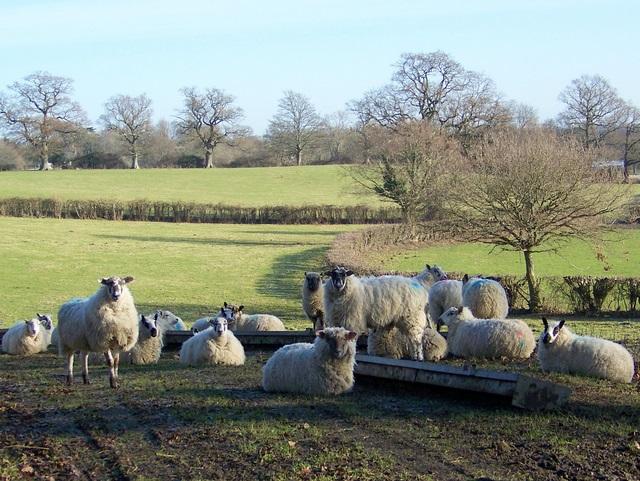 Sheep near Bramshaw