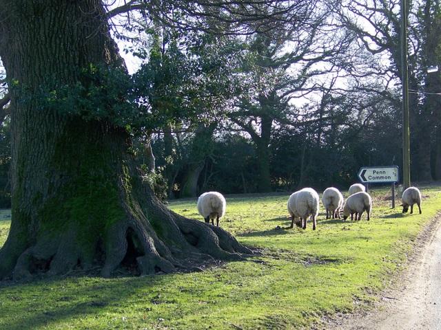 Sheep, Bramshaw