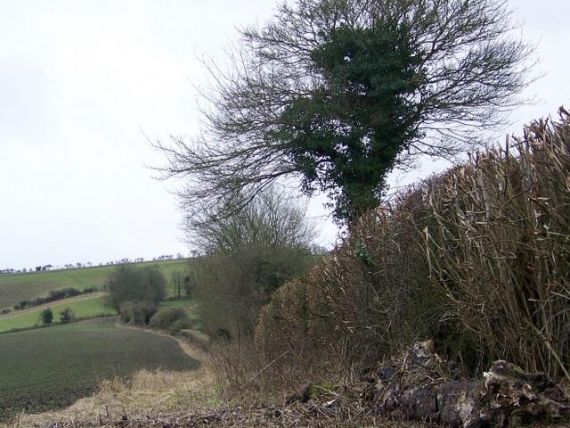 Hedge near Charlton