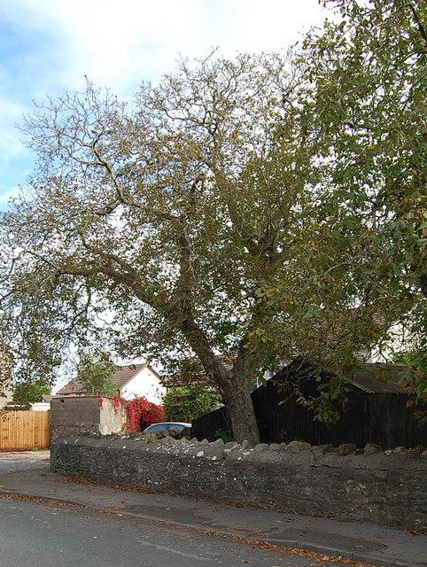 Walnut tree, Wintour Close, Chepstow