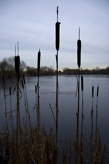 Bulrushes at Kelsey Hill