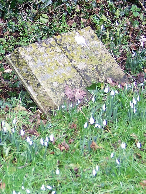 Snowdrops, St Mary's Churchyard