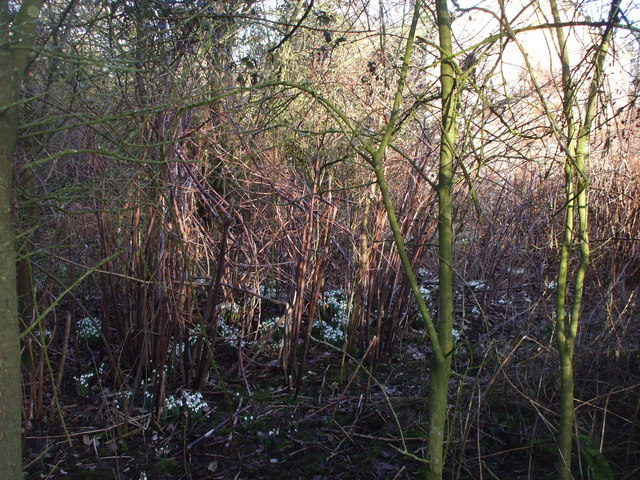 Snowdrops in the overgrown garden of the derelict house in Bowdens Lane