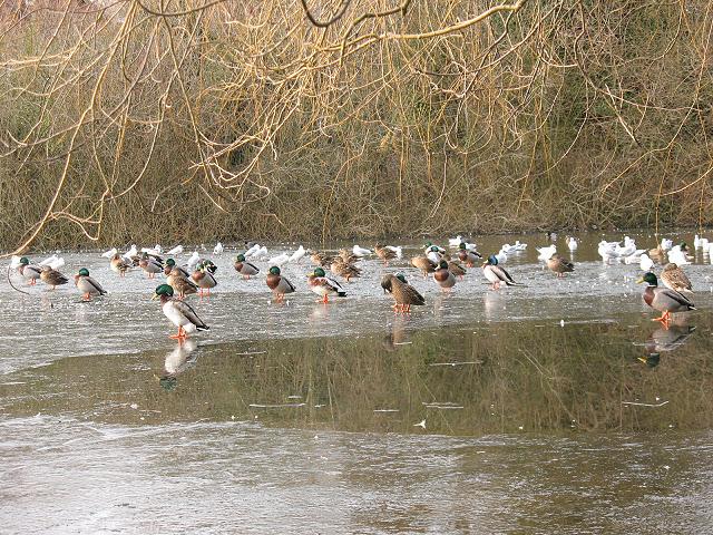 Ducks on Mere Pond