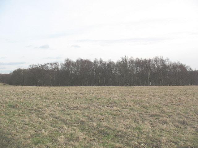 Banstead Heath: birch wood