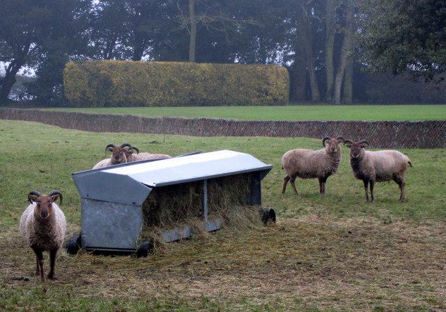 Sheep and Ha Ha