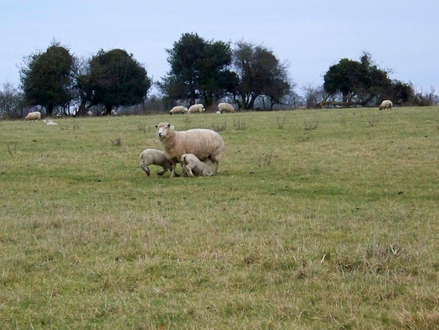 Ewes and lambs, Drove Lane