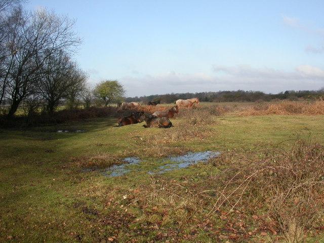 Plain Heath, ponies
