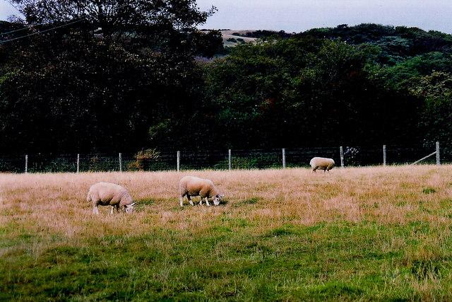 Glen Maye - Sheep grazing in field along farm road