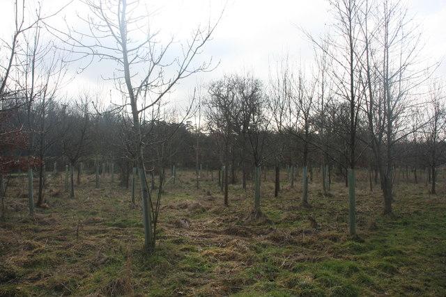 Newly planted saplings by the footpath near Brambletye