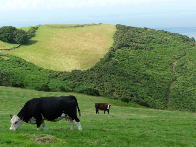 Cattle grazing above Grexy Combe